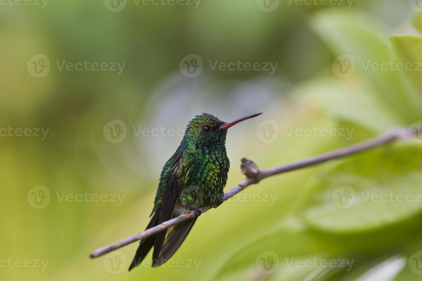 Canivet's Emerald (Chlorostilbon canivetii), male hunningbird photo