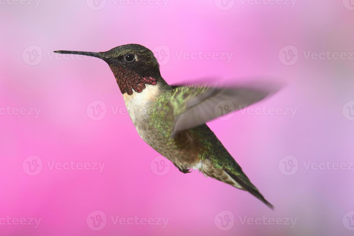 colibrí garganta de rubí foto