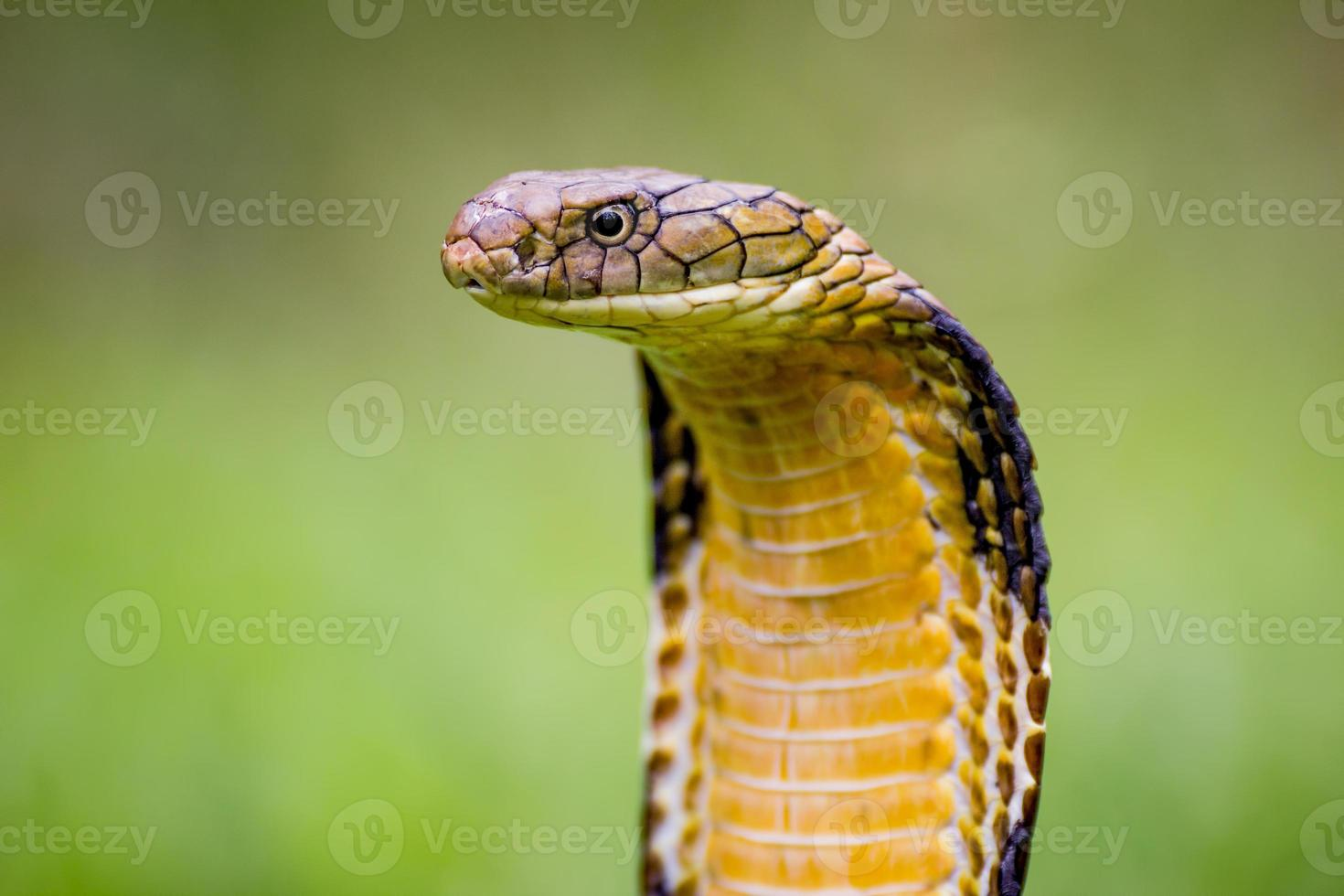King Cobra (Ophiophagus hannah) The world's longest venomous snake photo