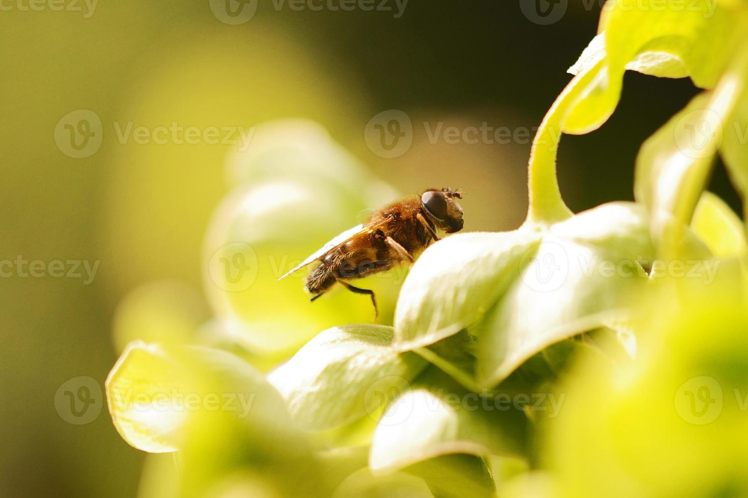 hoverfly en planta foto