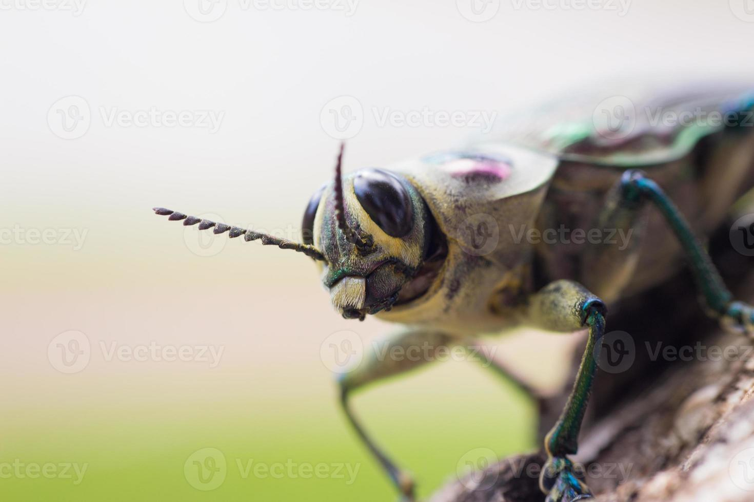insecto brasileño foto