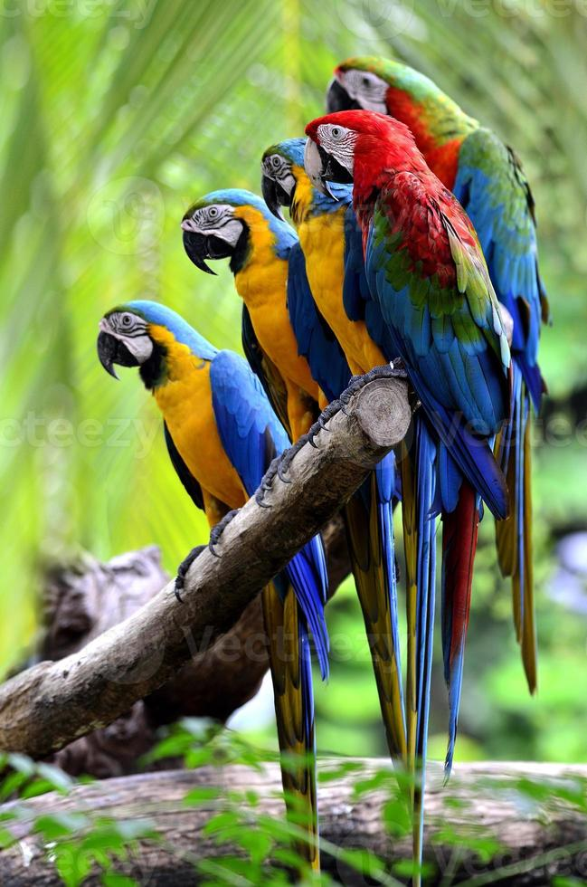 muchos pájaros guacamayos se reúnen en una rama foto