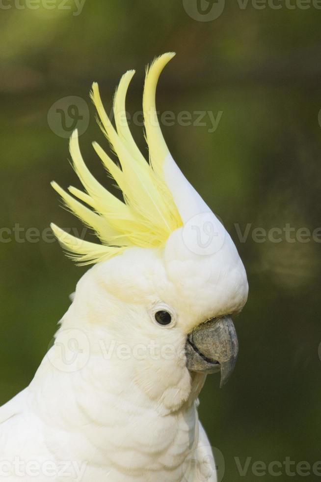 Sulphur-crested Cockatoo closeup photo