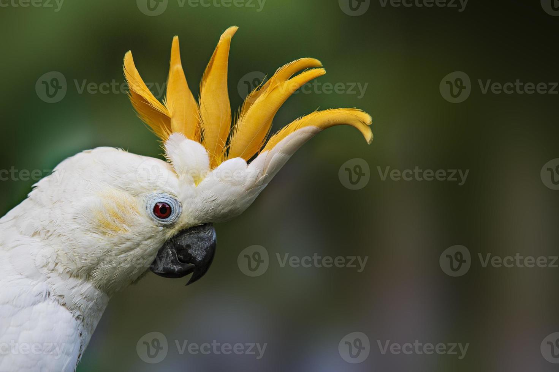 cacatúa con cresta de limón foto