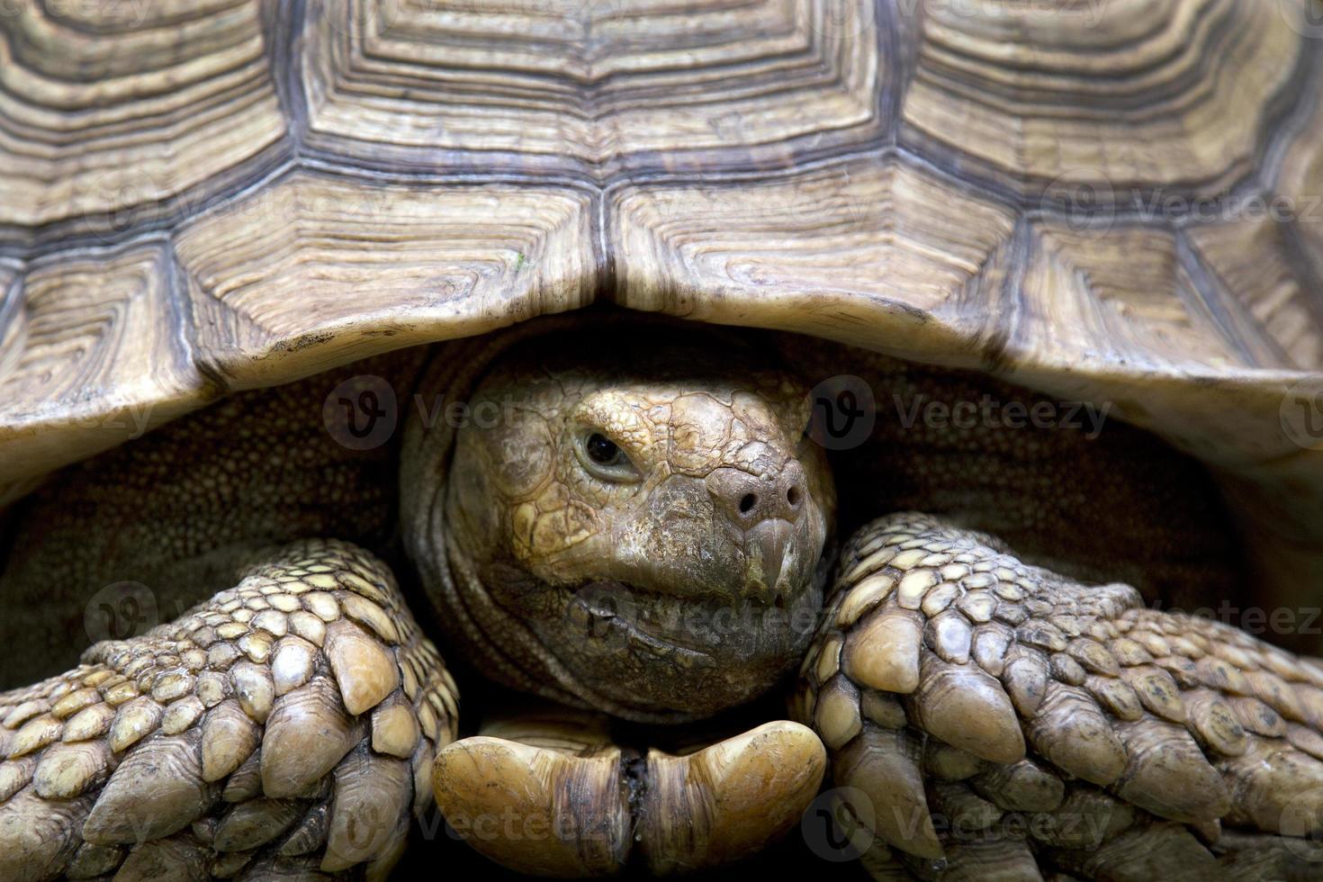 cabeza frontal de tortuga grande y vieja foto