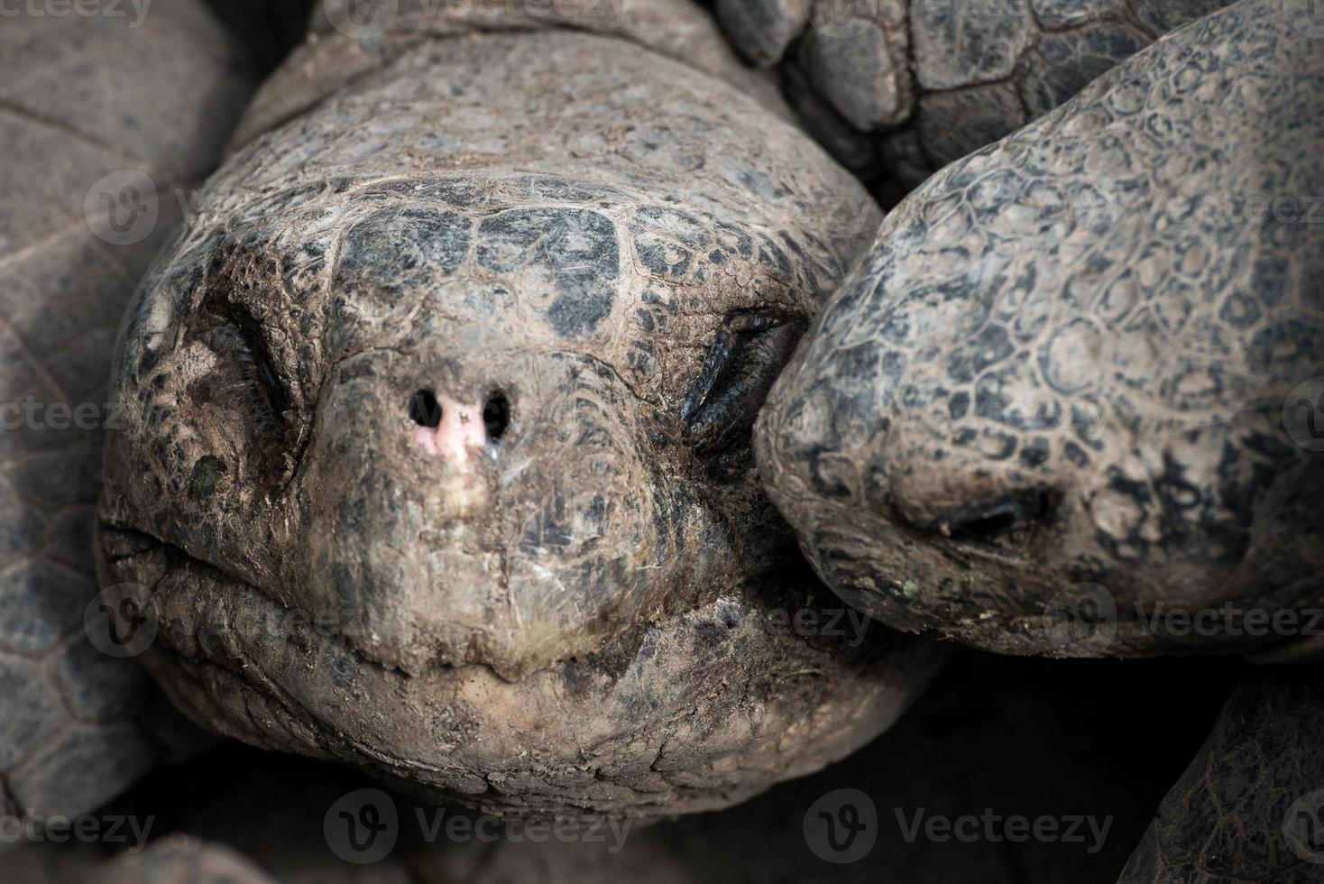 tortuga de galápagos foto