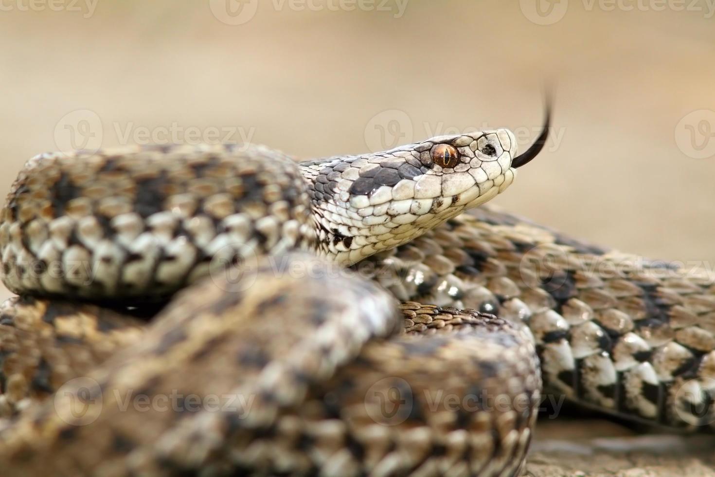 ursinii viper closeup photo