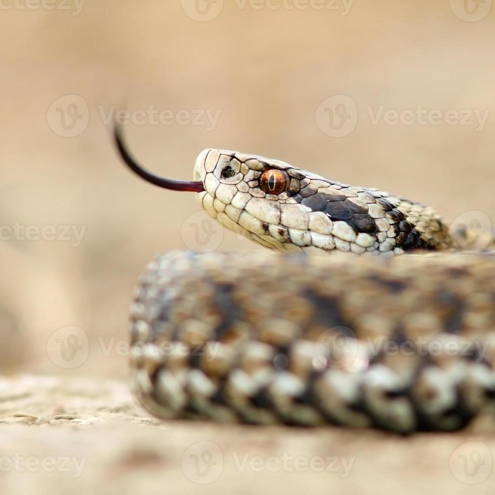 macro image of a meadow viper photo