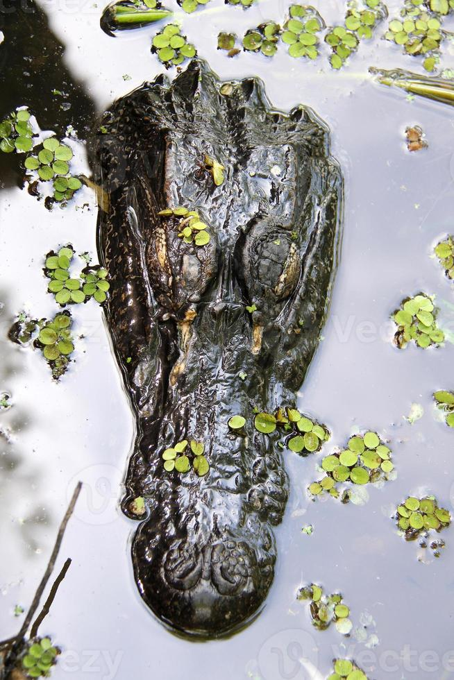 cocodrilo en el pantano de nueva orleans foto