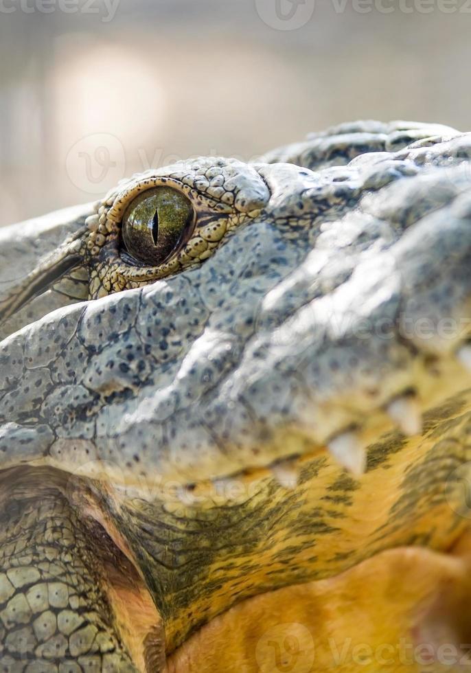 cocodrilo, primer plano, ojos y dientes foto