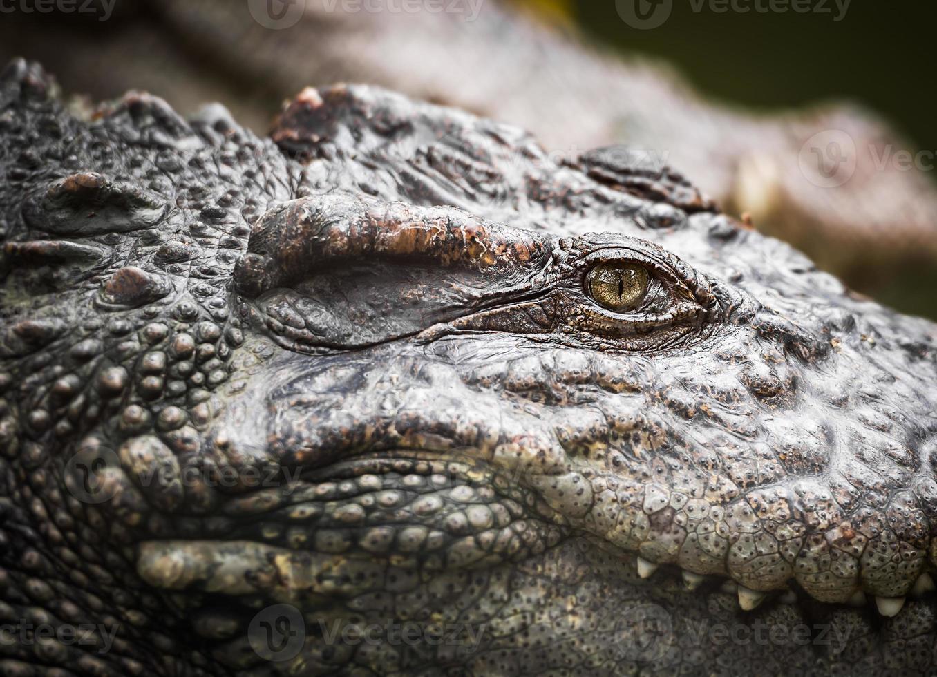 ojo de cocodrilo foto