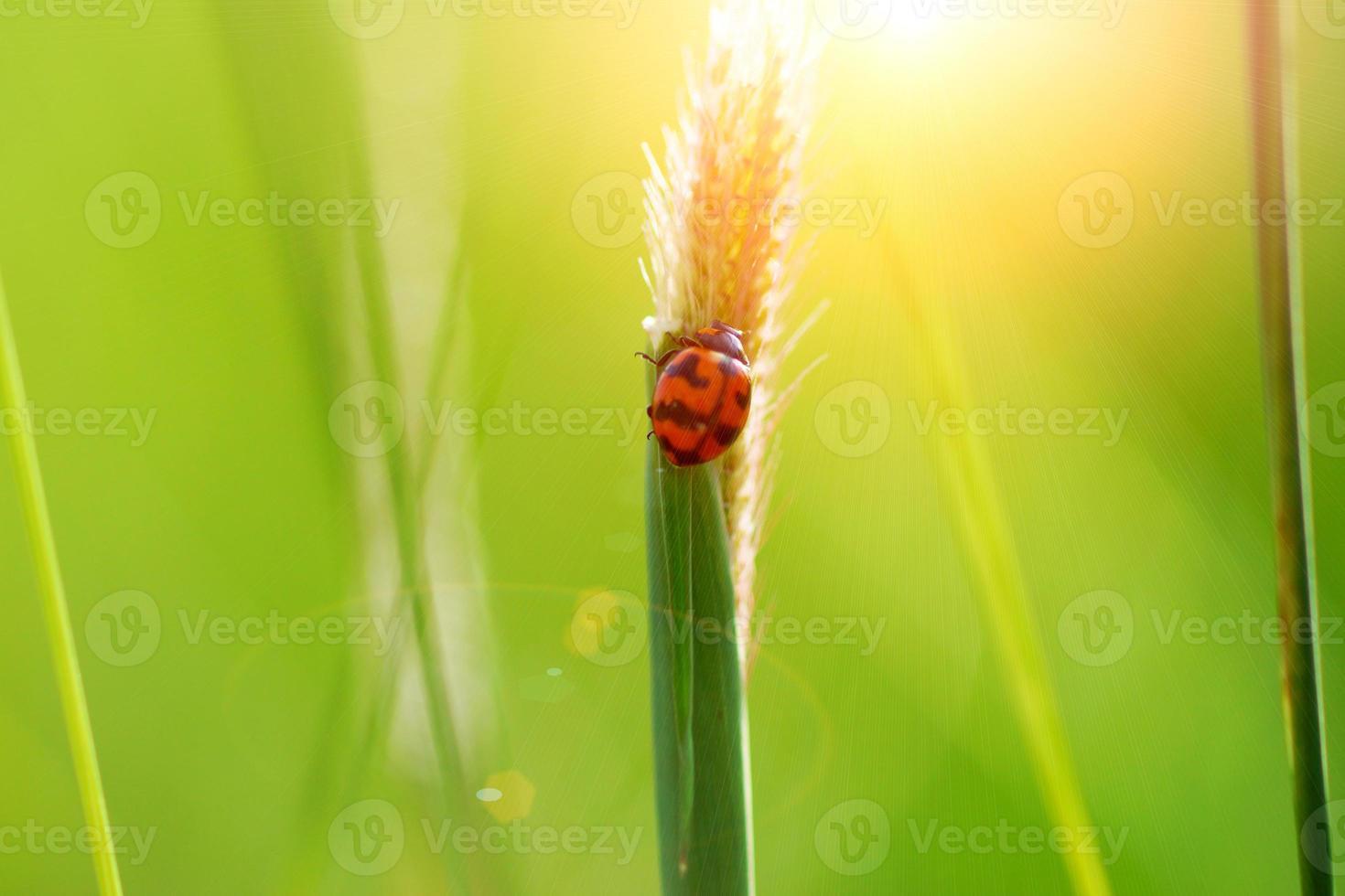 Mariquita sobre hierba después de la exposición al sol. foto