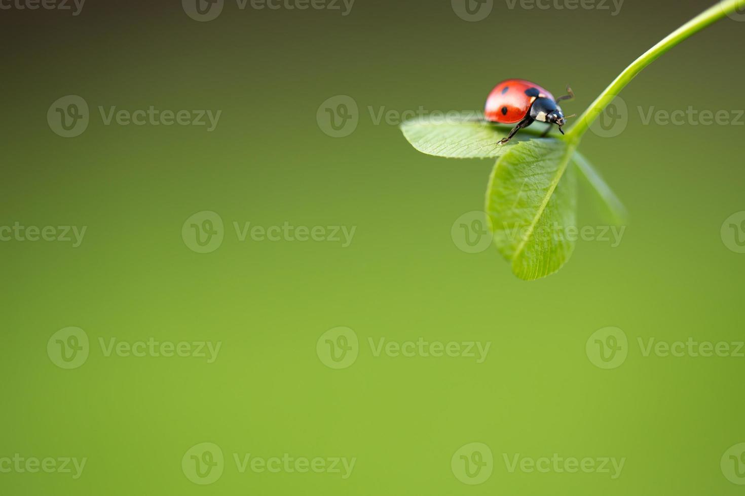 mariquita en hoja verde foto