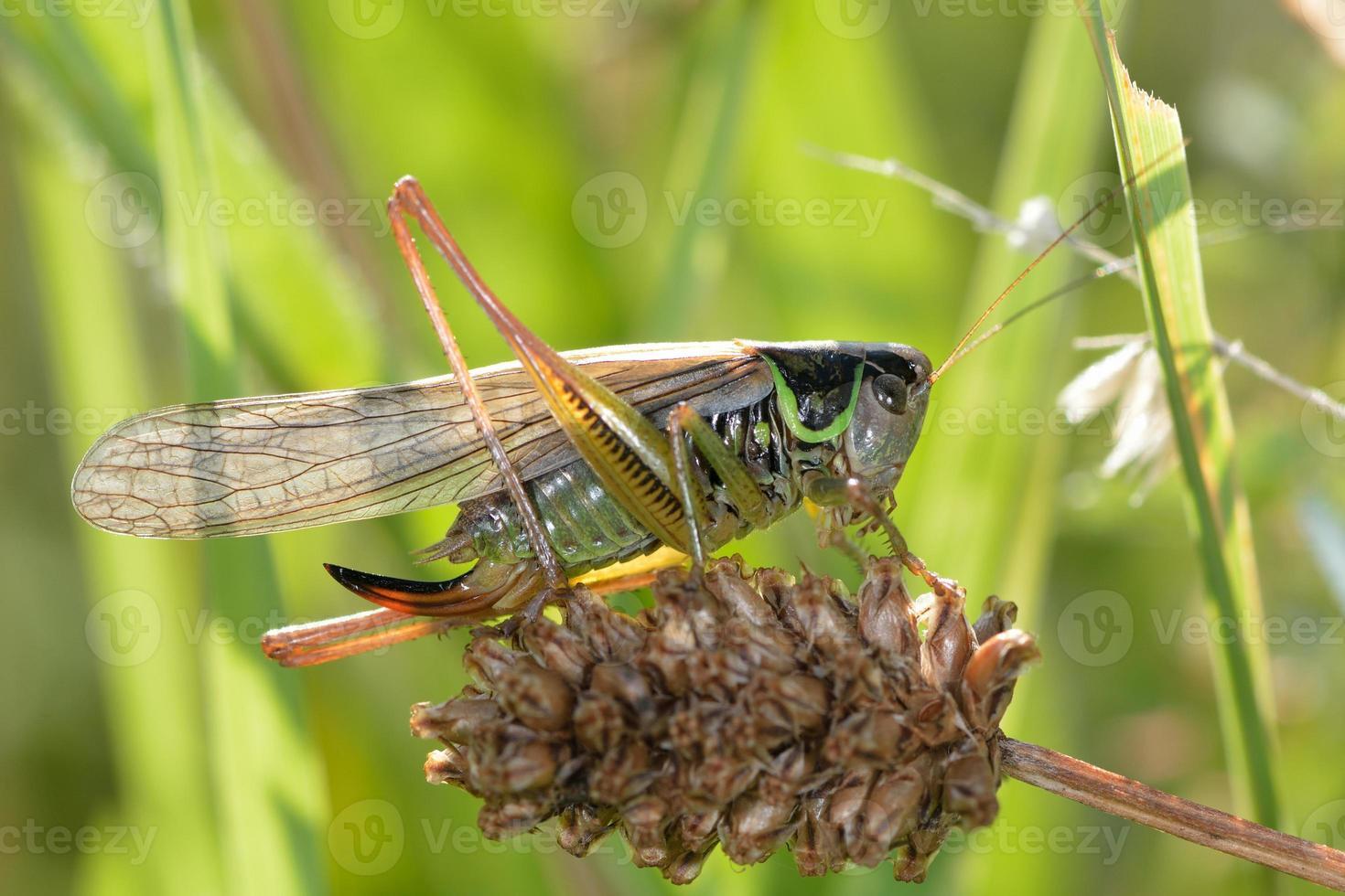 forma alada de cricket de arbusto de roesel (metrioptera roeselii) foto