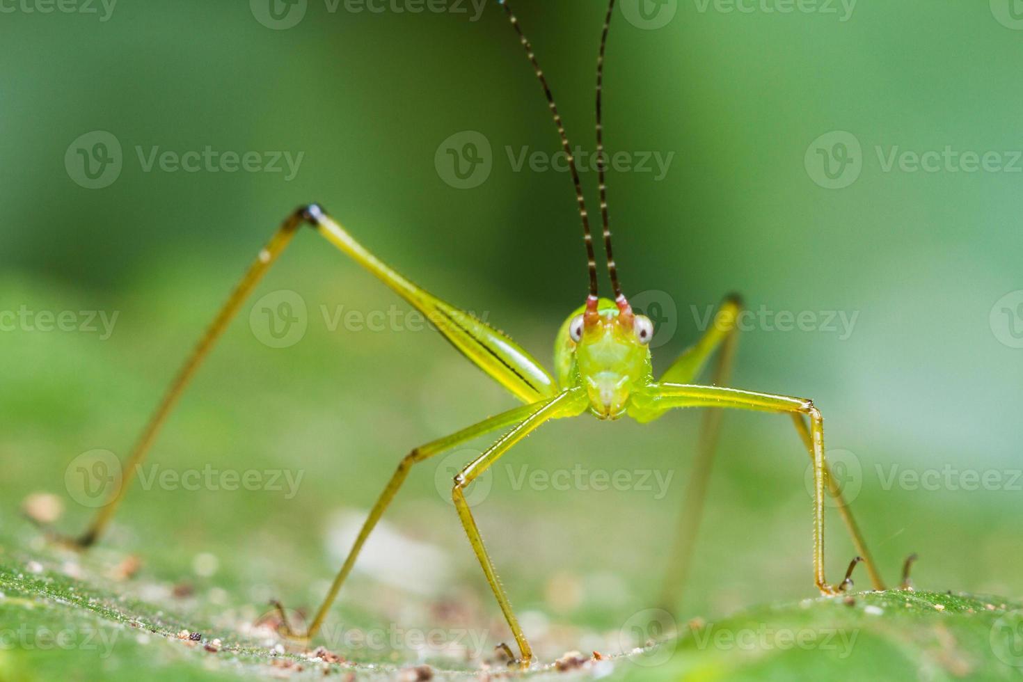 pequeña hoja verde saltamontes foto