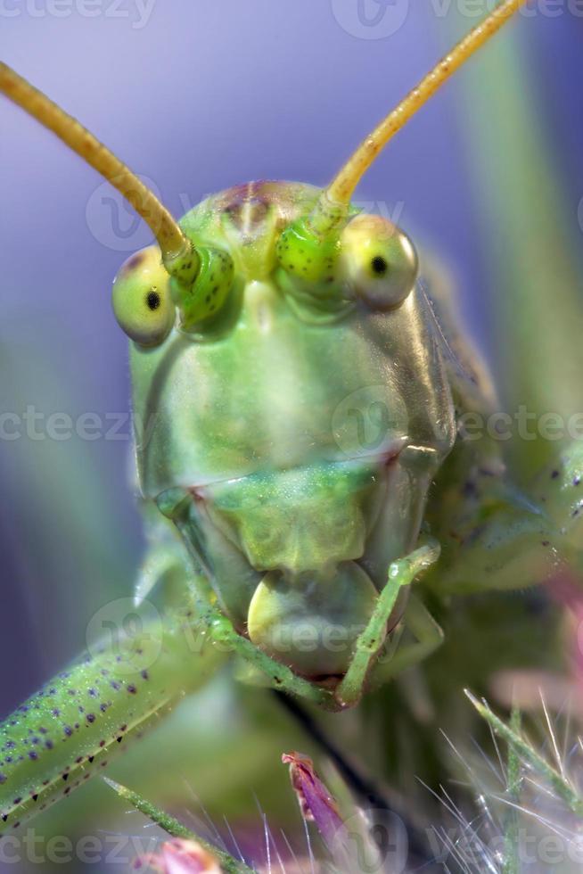Retrato de cricket en fondo coloreado foto