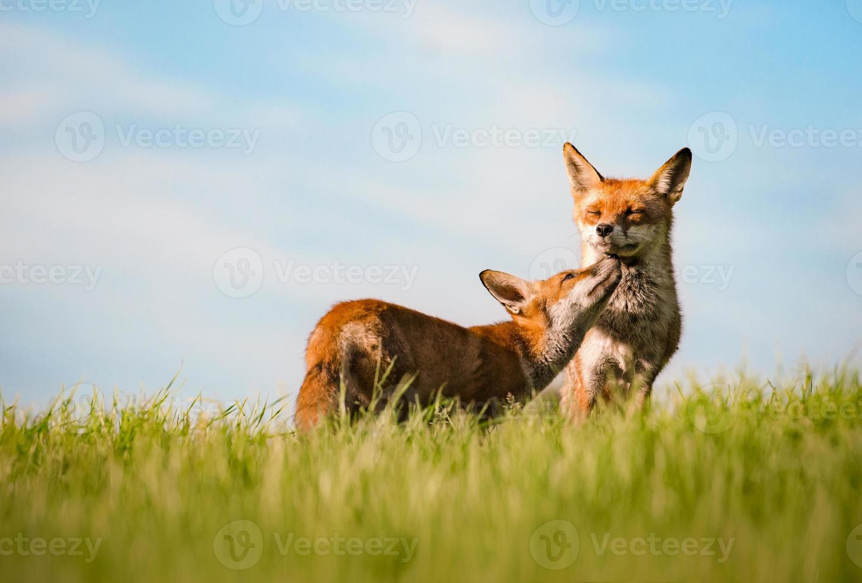 zorros rojos (pareja) (vulpes vulpe) foto
