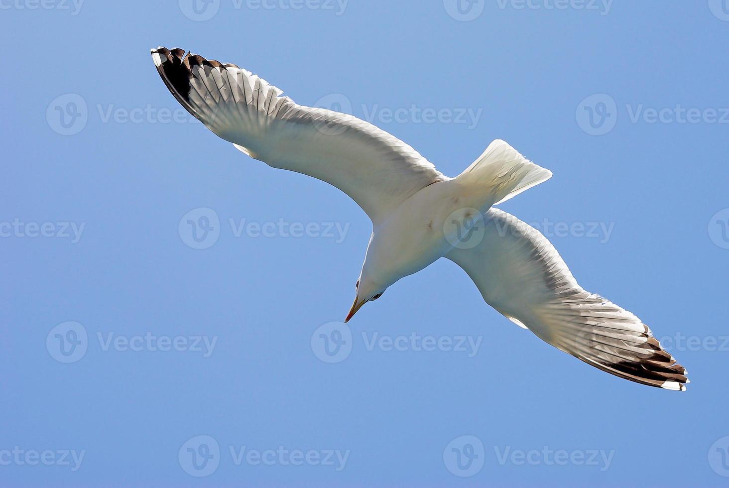 Seagull photo