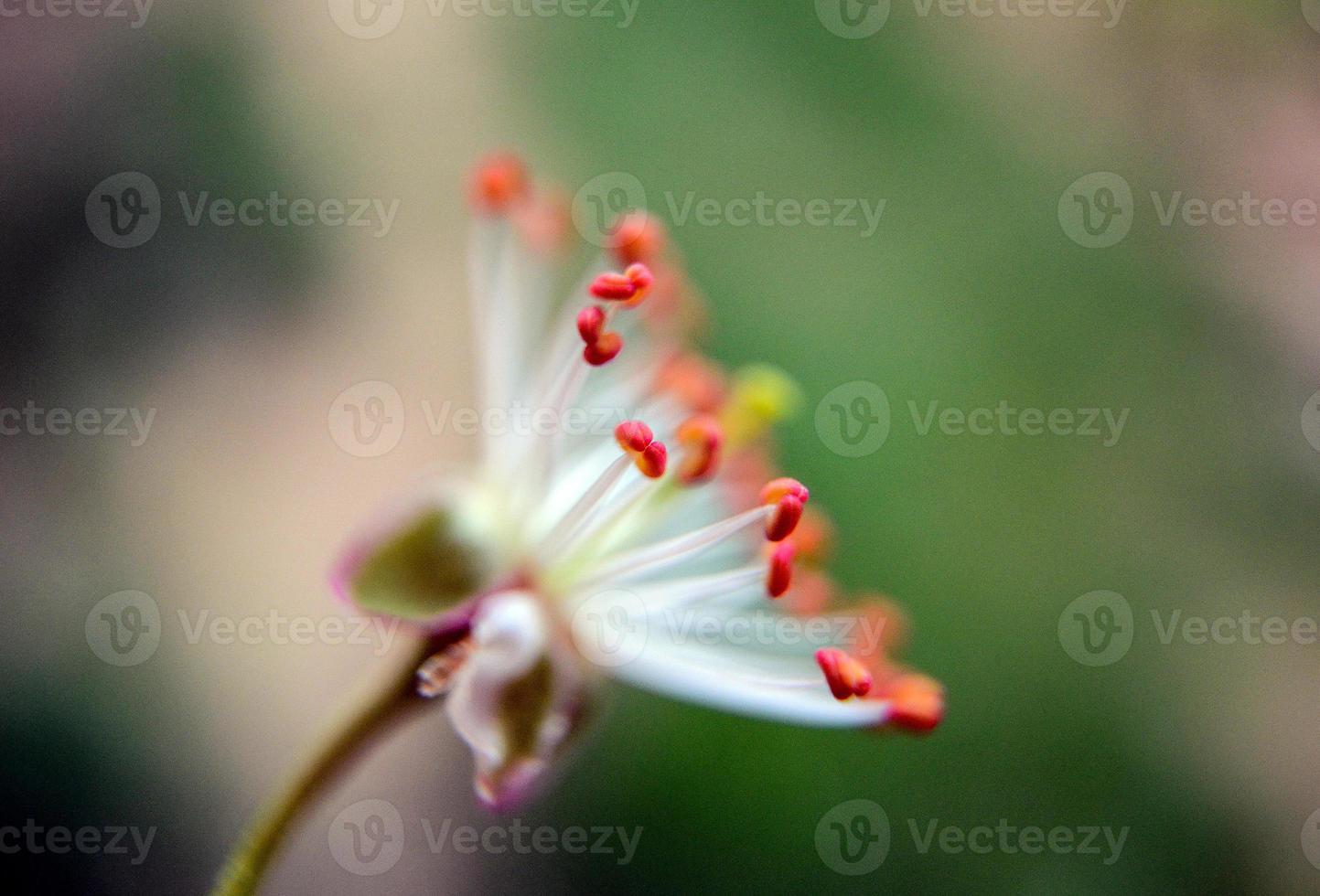 Beautifull subtle colors of a stamens, macro, photo