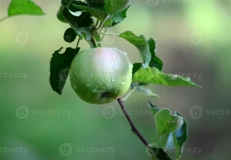 manzanas en huerto foto