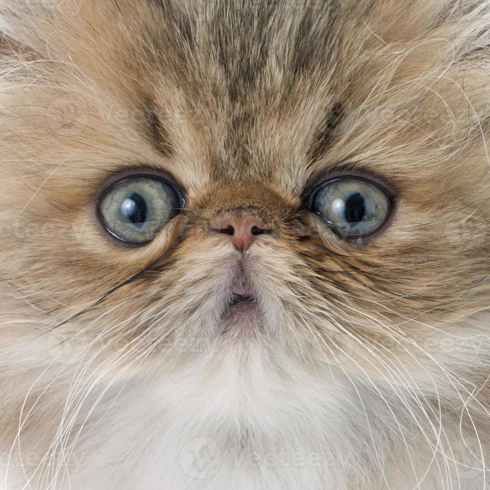 gatito persa foto