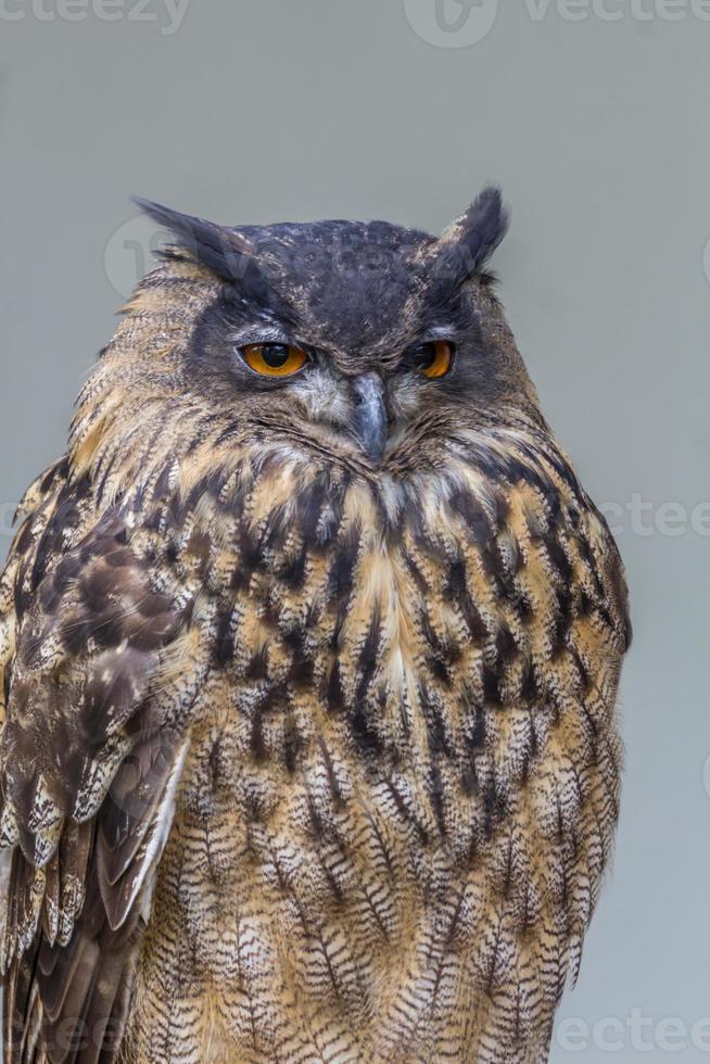 eagle owl photo