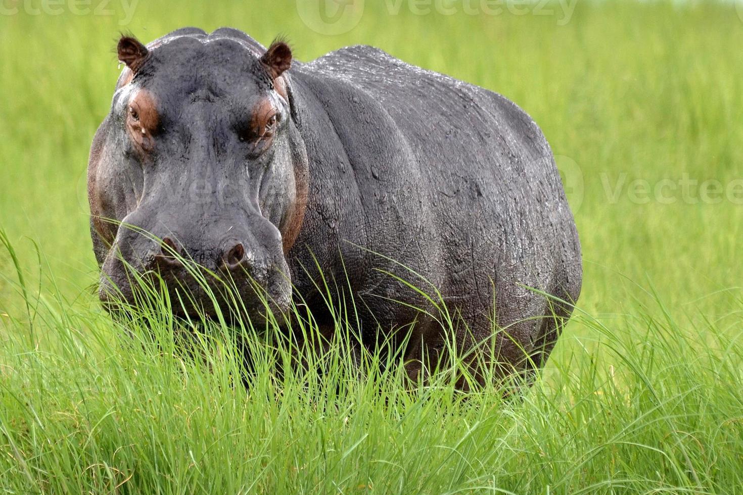 Hipopótamo (Hippopotamus amphibius) frente a la cámara en la hierba larga, Botswana. foto