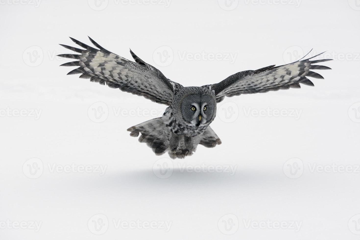 A gray owl with wings spread out photo