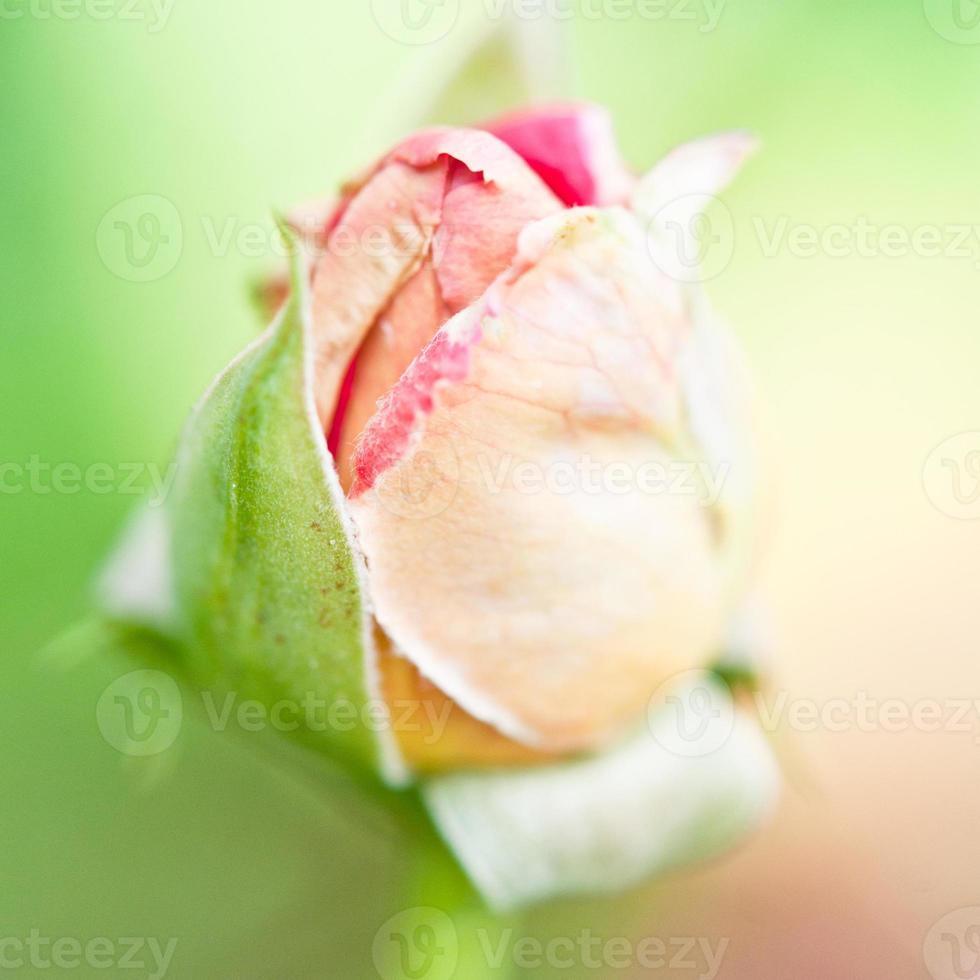capullo de rosa de cerca / enfoque selectivo foto