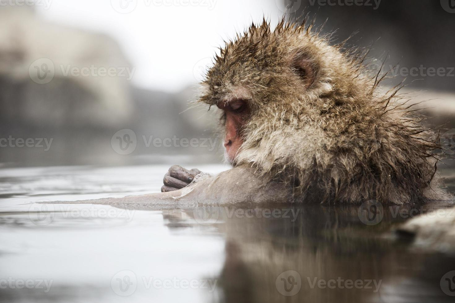 Grooming time - Japanese Snow Monkey photo
