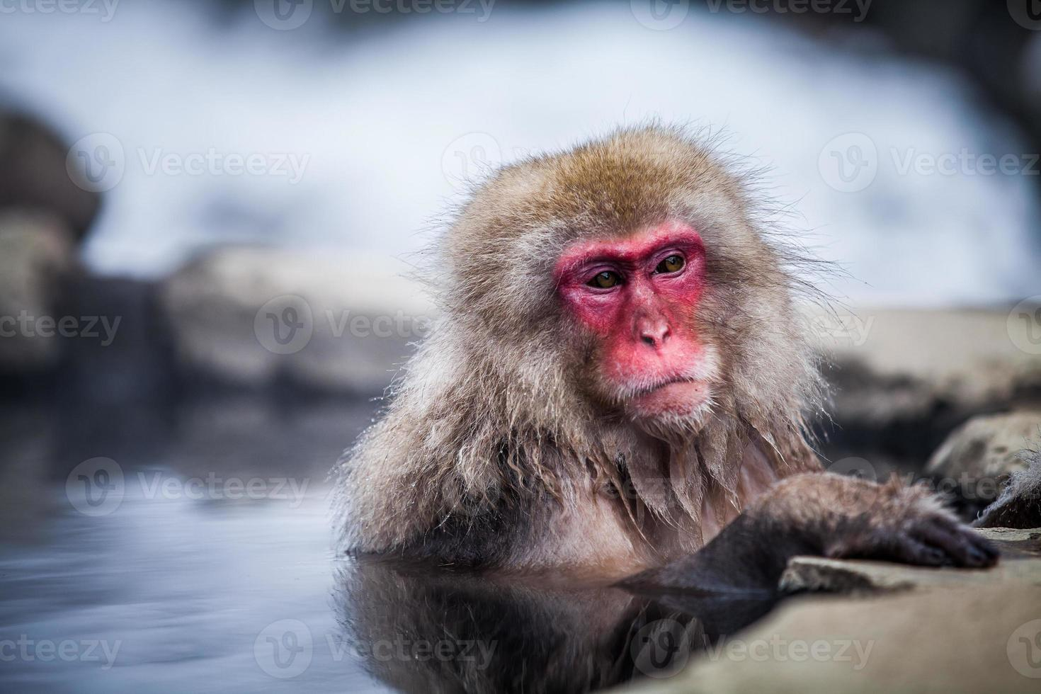 Japanese snow monkey in hot springs. photo