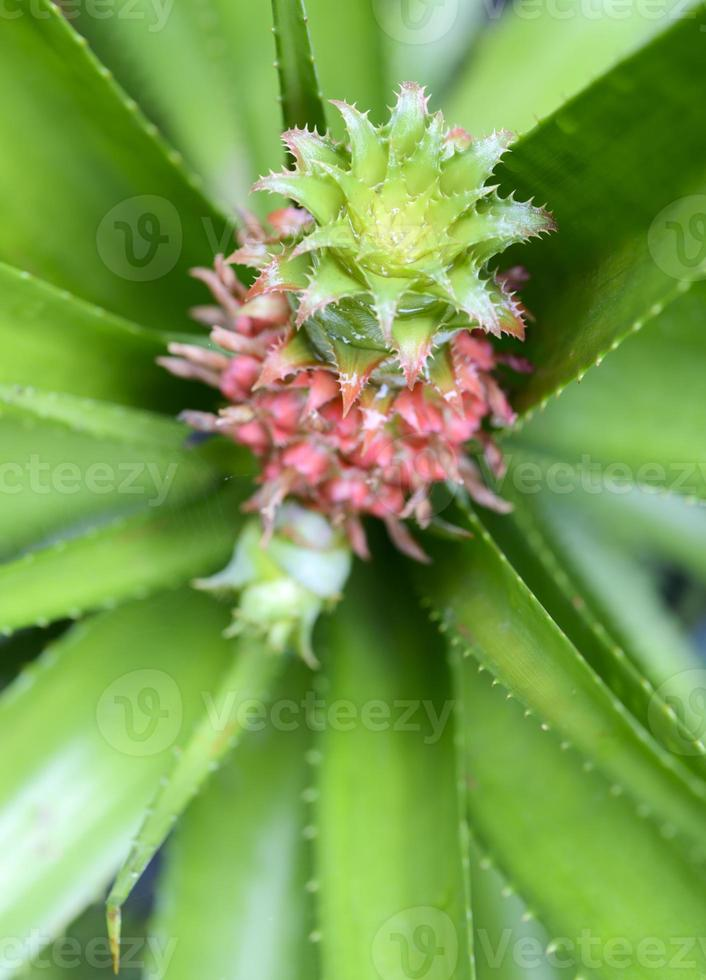 flor de piña foto