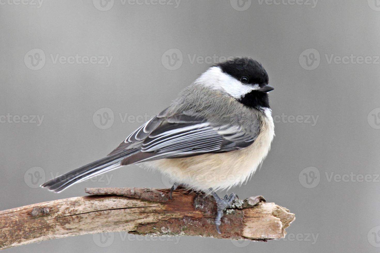 Winter Chickadee photo