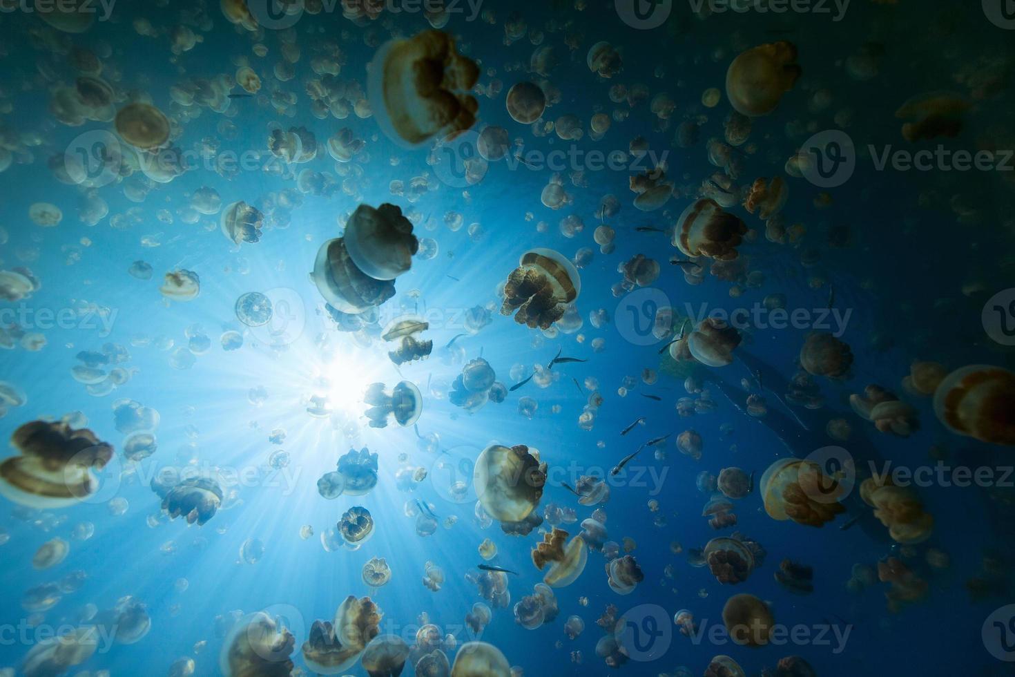 Jellyfish Lake photo
