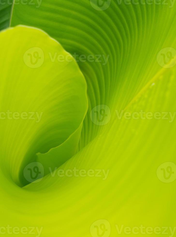 hoja de banana foto
