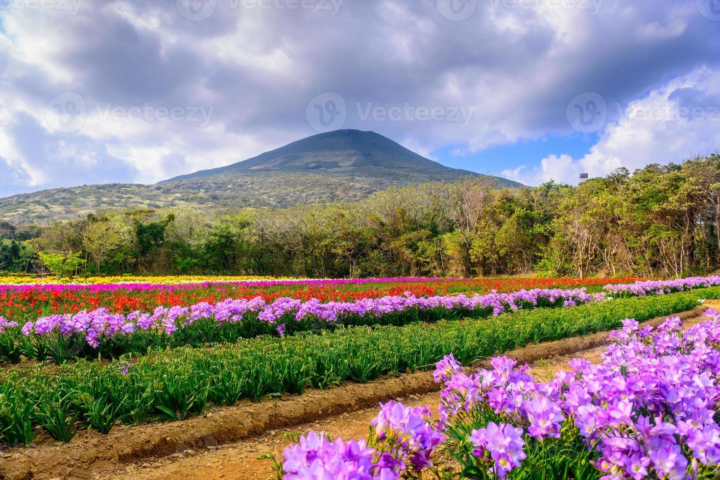 Fresia flores en la isla hachijojima. foto