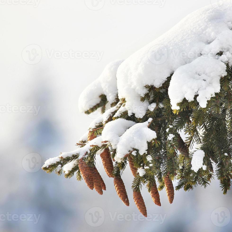 dennenboom, kegels, sneeuw, winter. foto