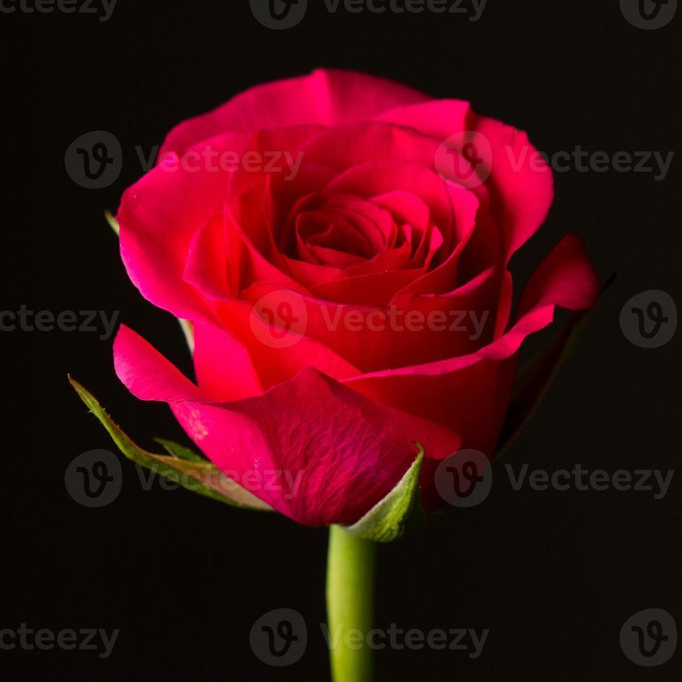 rosa roja aislada en negro. simbólico de amor y compasión foto