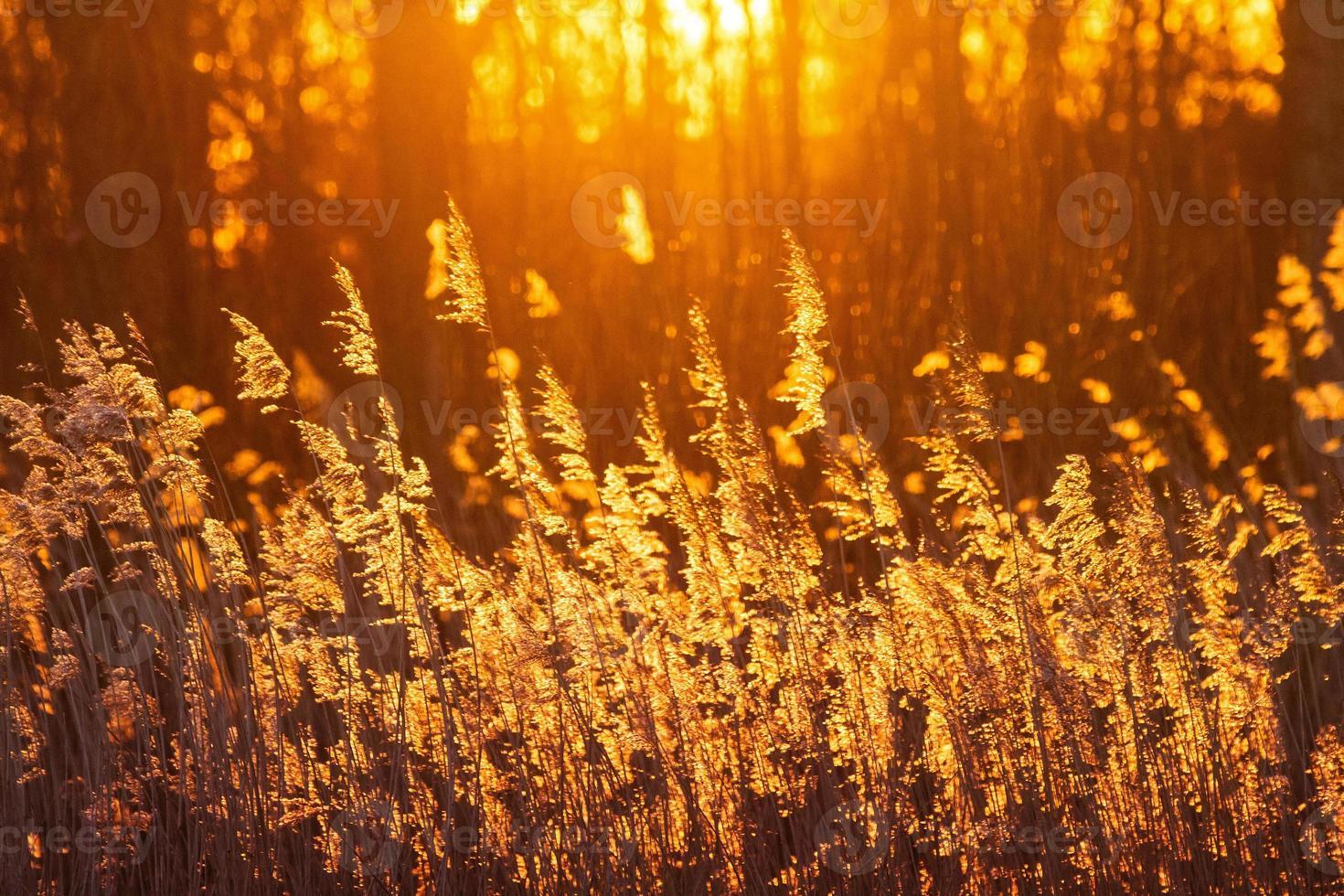 Sunset reed photo
