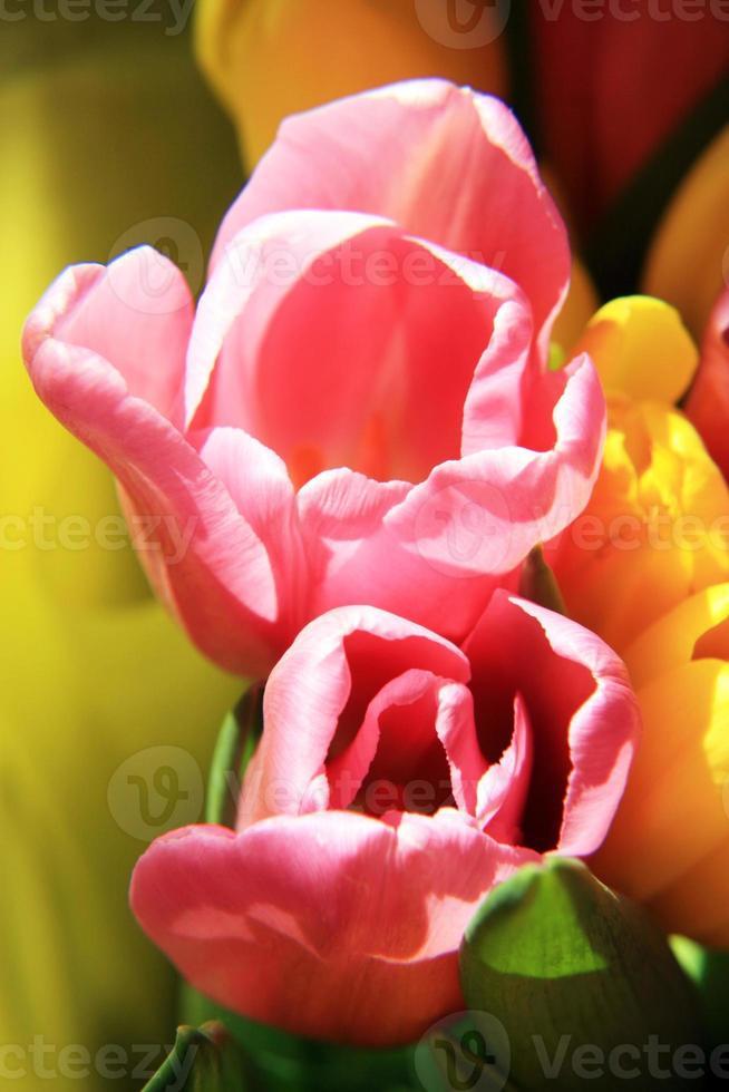 Tulips photo