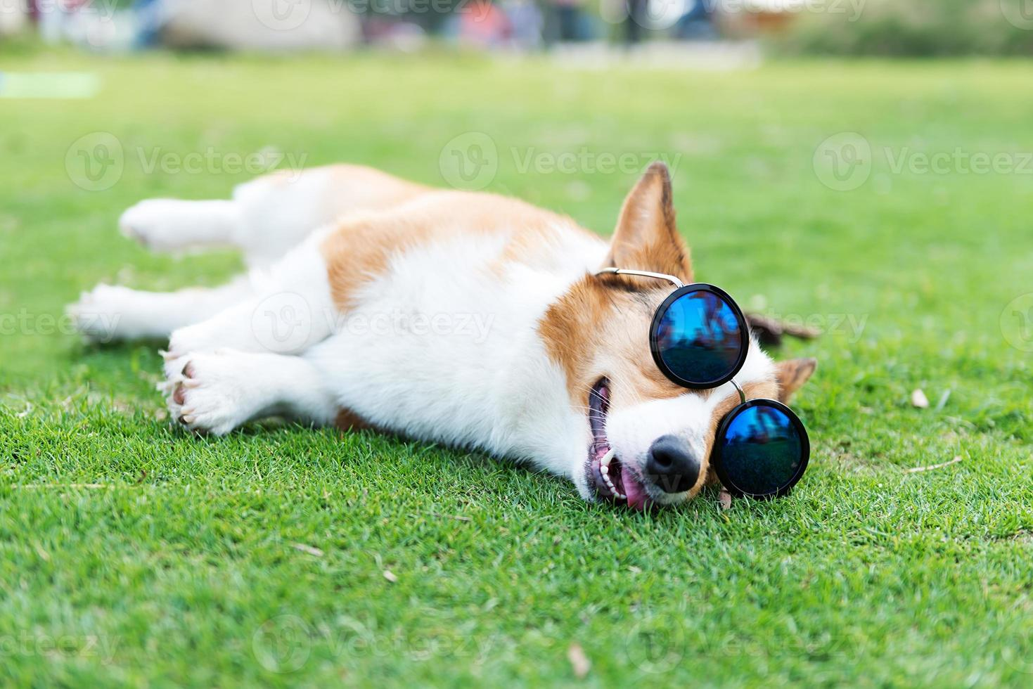 Dog wearing sunglasses on the green grass photo