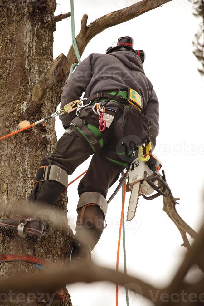 Arborist climbing tree photo