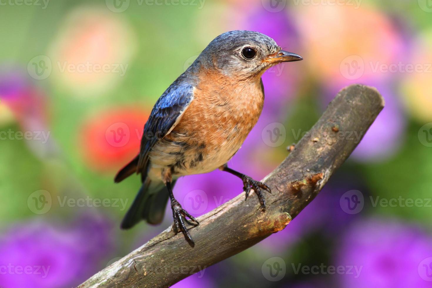 Female Eastern Bluebird photo
