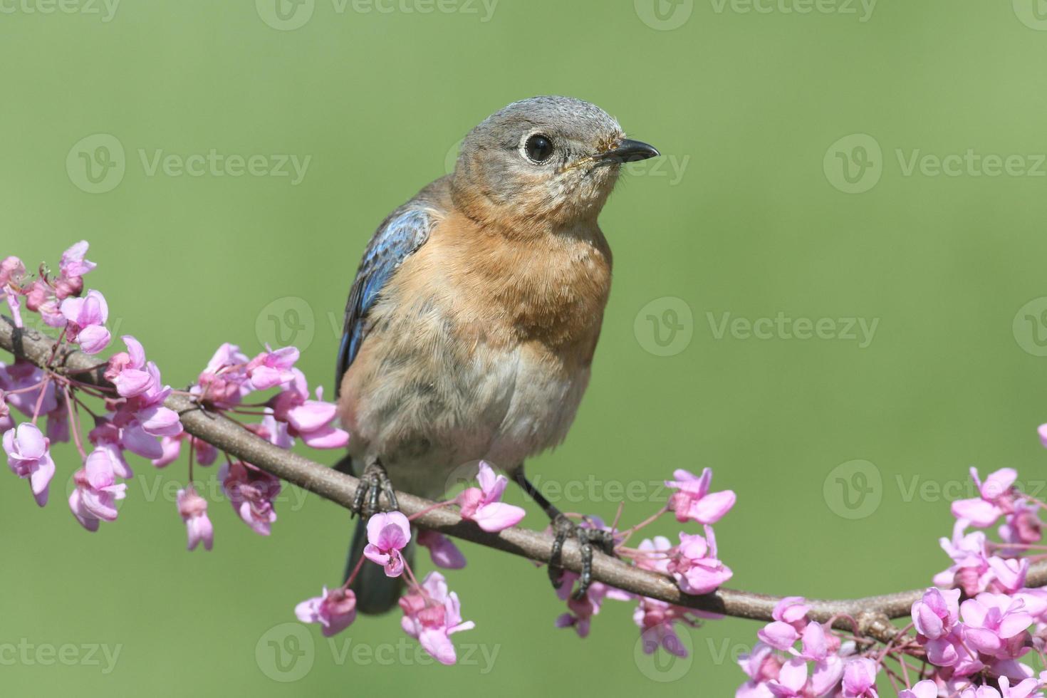 Bluebird hembra oriental foto