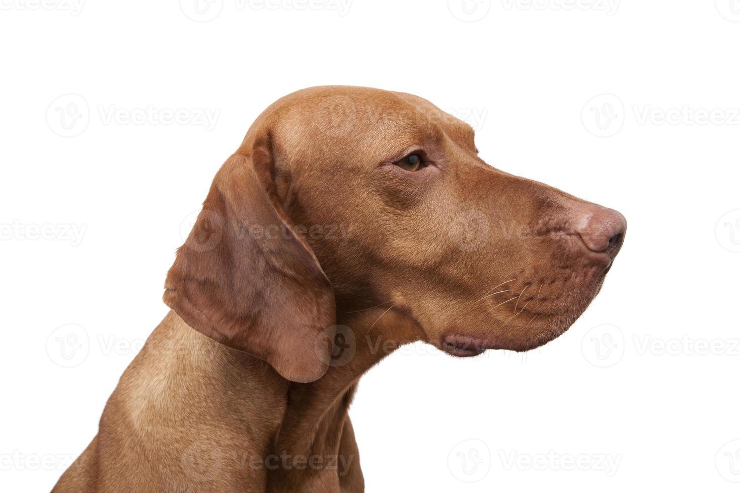 retrato de perro puntero foto