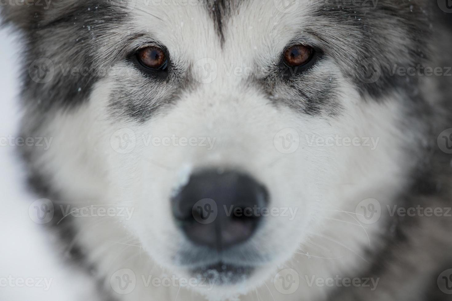 Alaskan Malamute muzzle photo