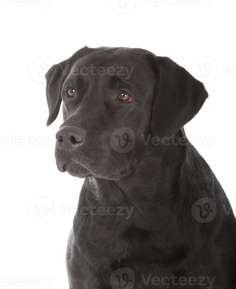 labrador retriever negro foto