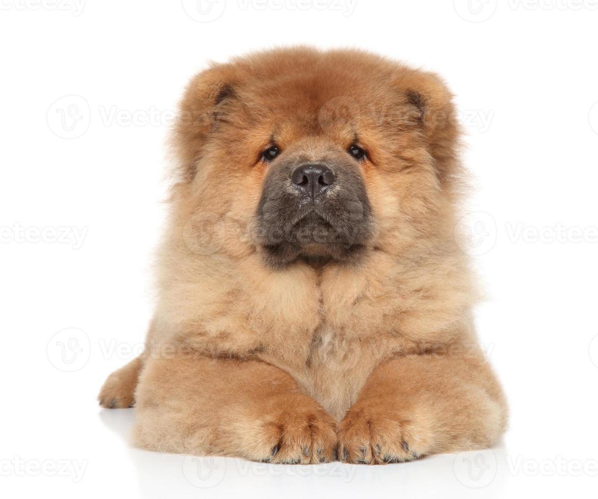 Chow-Chow cachorro sobre un fondo blanco. foto