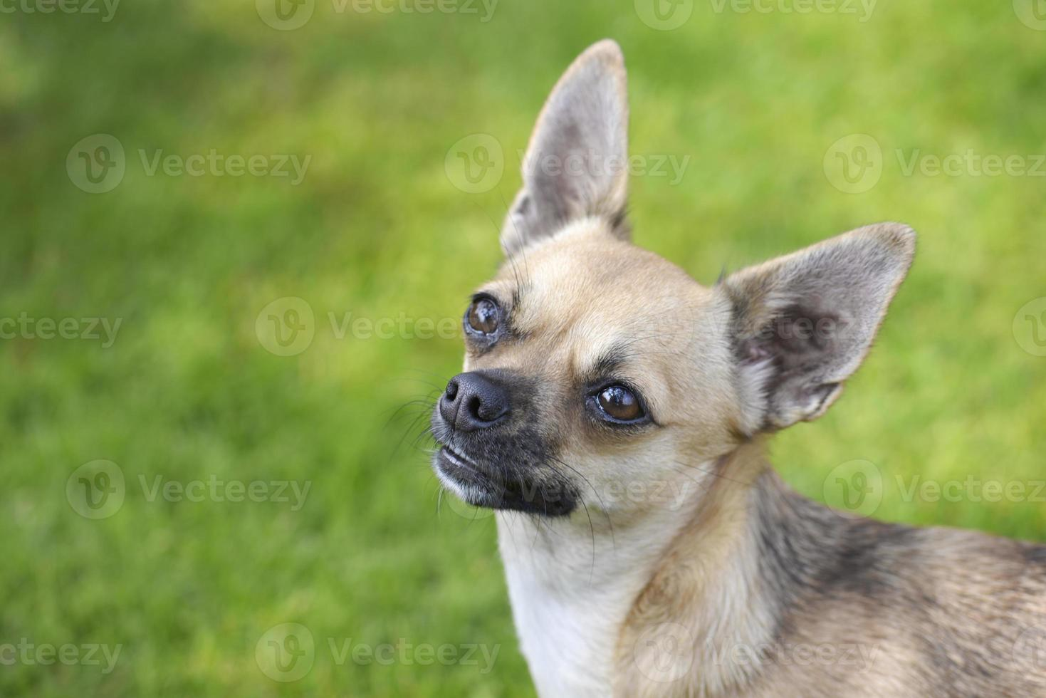 Chihuahua photo