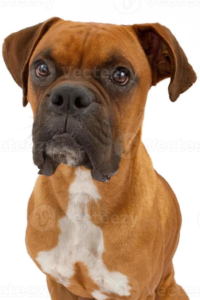 primer plano de perro boxer foto
